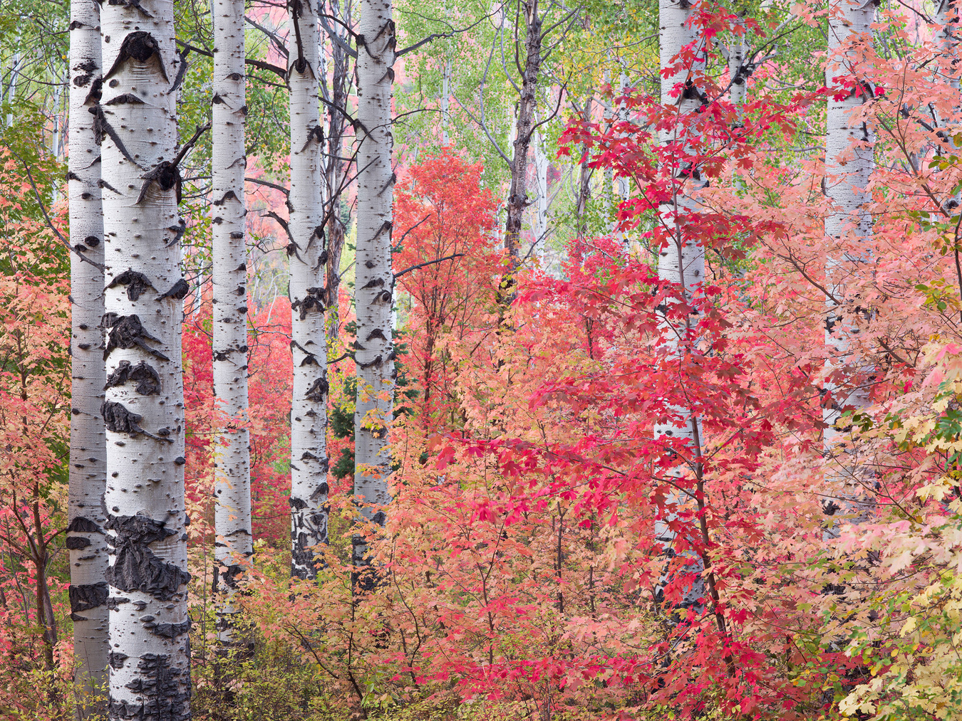 Glowing Red Maple and Aspens